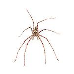 Giant Tree Trunk Huntsman Spider (Heteropoda boiei). Taken in situ, Danum Valley, Sabah, Borneo.