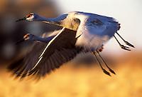 Sandhill cranes in flight,  Bosque del Apache, New Mexico