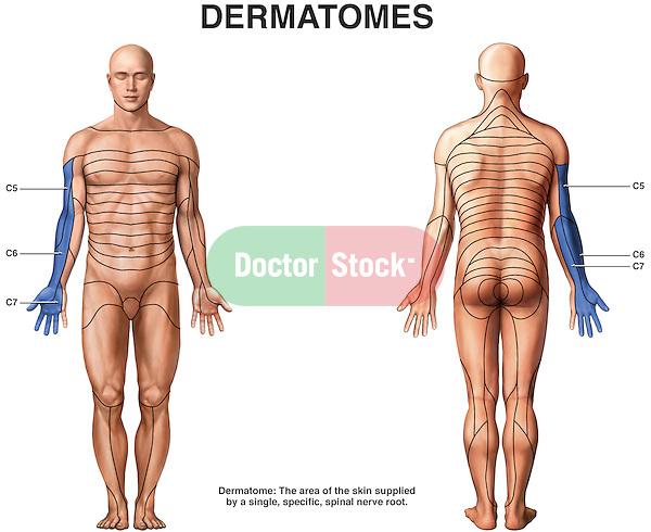 Dermatomes of c5, c6 and c7.