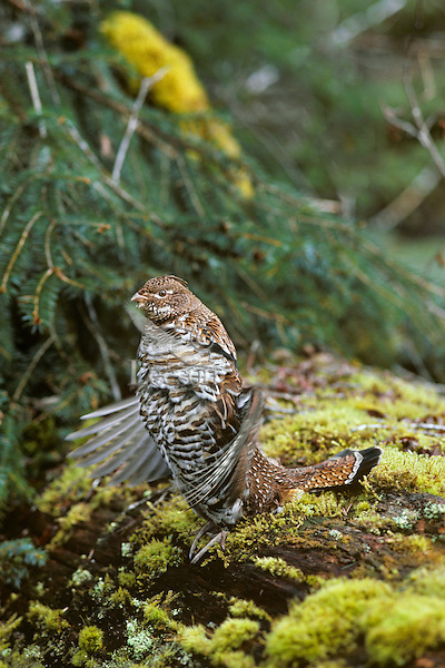 Male Ruffed Grouse (Bonasa umbellus) drumming--spring territorial-mating display, Pacific N.W.  In drumming grouse beats wings back and forth (creates small sonic booms) that sound like an old outboard trolling motor.