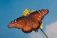 Queen Butterfly (Danaus gilippus), adult feeding on flower, Sinton, Coastel Bend, Texas, USA