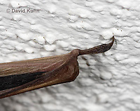 0411-1016  Little Brown Bat Thumb (syn. Little Brown Myotis), Myotis lucifugus  © David Kuhn/Dwight Kuhn Photography.