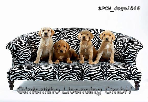Xavier, ANIMALS, REALISTISCHE TIERE, ANIMALES REALISTICOS, dogs, photos+++++,SPCHDOGS1046,#a#, EVERYDAY