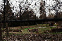 BULGARIA, Sofia, 2012/04/5..A stray dog ??in the park of the American College in Sofia, Bulgaria..BULGARIE, Sofia, 2012/04/5..Un chien errant dans le parc du collège Américain à Sofia, Bulgarie..© Pierre Marsaut