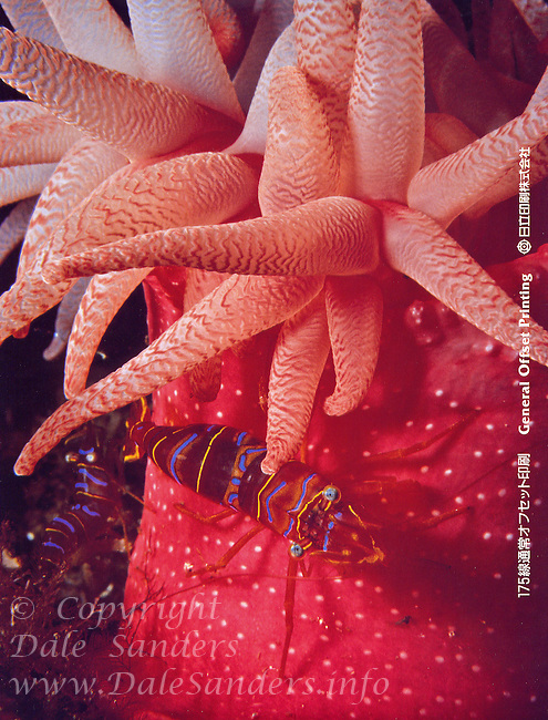 General Offset Printing Ad featuring photo of Clown Shrimp on a Crimson Anemone.