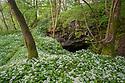 Wild Garlic / Ramsons (Allium ursinum) growing in deciduous woodland. Peak District National Park, Derbyshire, near Bonsall. May.