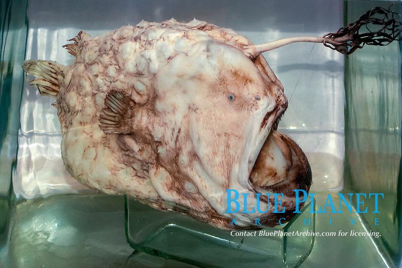 Preserved deep sea anglerfish, Natural History Museum, London, England, United Kingdom