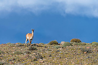 We're not sure what triggered this Guanaco's run from the edge of the cliff. Best bet was a Puma in the area. Here the Guanaco takes flight and runs in our direction, while the light highlights the Guanaco against the background of a mountain in the mist a few miles behind it. Laguna Amarga area, near Torres del Paine National Park, Patagonia, Chile.