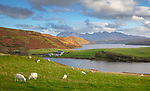 Isle of Skye, Scotland: Sheep grazing on a grassy hillside overlooking Loch Harport