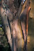 Europe/Provence-Alpes-Côte d'Azur/83/Var/Rayol-Canadel-sur-Mer: Jardin du domaine du Rayol - Détail écorce d'eucalyptus au conservatoire du littoral