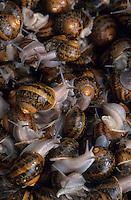 """Europe/France/Bretagne/29/Finistère/Cap Sizun/Goulien : Ferme hélicole """"Cap Helix"""", détail escargots"""