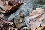 2 Week old Eastern gray squirrel pup in nest.  At this early age, the squirrels eyes are still closed.