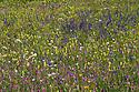 Alpine meadow, Nordtirol, Austrian Alps, Austria, July.