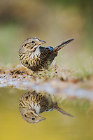 Lincoln's Sparrow, Melospiza lincolnii, adult drinking, Uvalde County, Hill Country, Texas, USA, April 2006