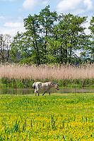 Pferd auf der Weide am Fluss Stremme, Milower Land, Havelland, Brandenburg, Deutschland