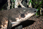 african lungfish facing right, close-up of face