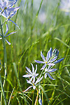 Beautiful blue camas lily offers a burst of color in the spring garden.