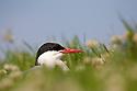 Arctic tern {Sterna paradisaea} on nest, Inner Farne, Farne Islands, Northumberland, UK. July.