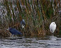 0203-08pp  Three Herons/Egrets; Little Blue Heron (Egretta caerulea), Tricolored Heron (Egretta tricolor), and Snowy Egret (Egretta thula) © David Kuhn/Dwight Kuhn Photography