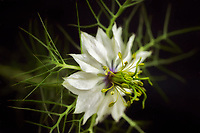 Close up of Nigella flower.