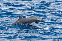 Central American Spinner Dolphin, Stenella longirostris centroamericana, calf porpoising, Costa Rica, Pacific Ocean