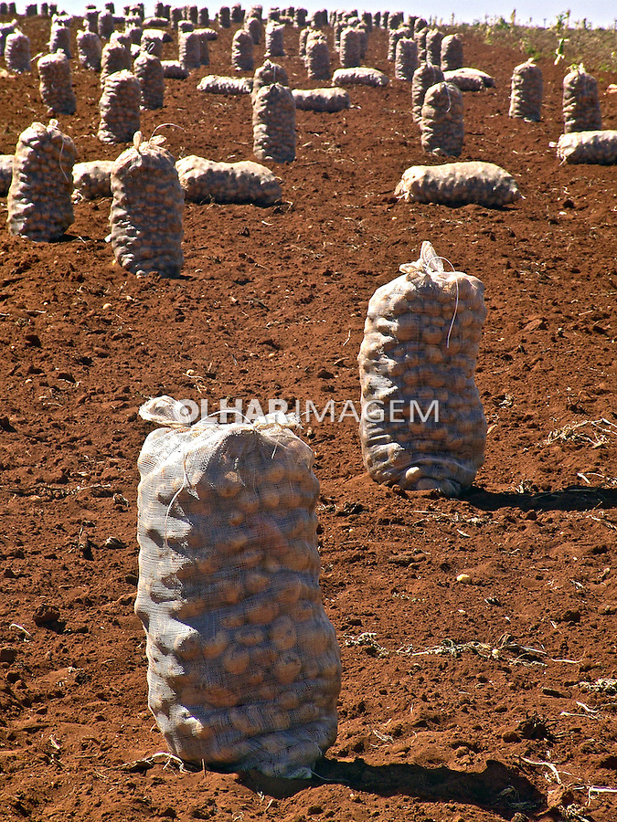 Colheita  de Batatas em Pouso Alegre. Minas Gerais. 2009. Foto de Alf Ribeiro.