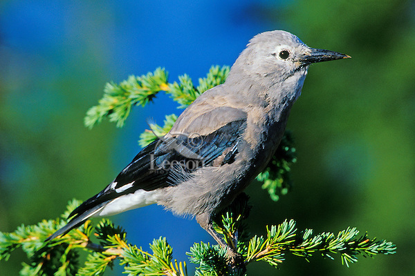 Clark's Nutcracker sitting in top of hemlock tree.  Pacific Northwest.  Summer.