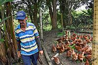 ARMENIA - COLOMBIA, 24-05-2021: A causa de la falta de maíz, los avicultores han tenido que buscar alternativas alimentarias para tratar de mantener el peso en las gallinas y pollos. A más de un mes del inicio del Paro Nacional, los campesinos han tenido que reinventar la forma para mantener sus cultivos y criaderos activos para minimizar las pérdidas por los bloqueos que aún se mantienen en las vías. Según cifras del Ministerio de Hacienda, las pérdidas diarias están en un monto de $480.000 millones de pesos colombianos, lo cual sumando la totalidad de los días del Paro Nacional, suman un total de $10,8 billones de pesos colombianos./ Due to the lack of corn, poultry farmers have had to look for food alternatives to try to maintain the weight of their hens and chickens. More than a month after the beginning of the National Strike, farmers have had to reinvent ways to keep their crops and hatcheries active in order to minimize losses due to the blockades that are still being maintained on the roads. According to figures from the Ministry of Finance, daily losses are in the amount of $480,000 million Colombian pesos, which adding the total number of days of the National Strike, add up to a total of $10.8 billion Colombian pesos. Photo: VizzorImage / Santiago Castro / Cont