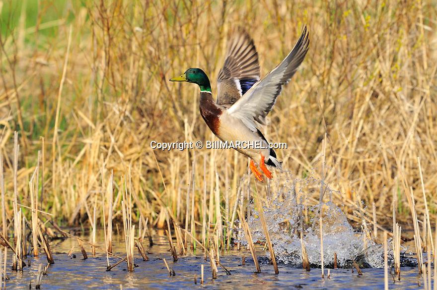 00330-082.05 Mallard Duck drake is taking flight from marsh.  Hunt, action, green, color, leap, wetland, swamp, fly.