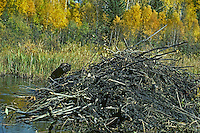 American Beaver (Castor canadensis) working on lodge--hauling mud.