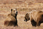 Brown bears, Denali National Park, Alaska, USA