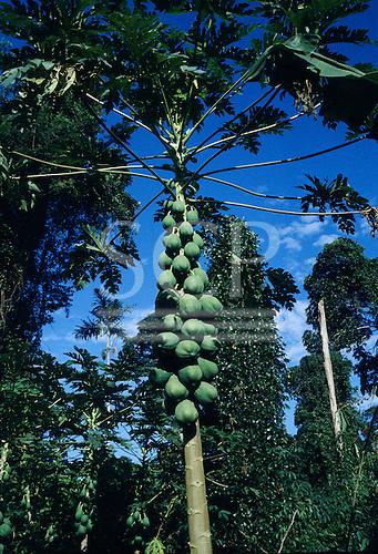 Amazon, Brazil. Papaya - 'Mamao' (Carica papaya); large cluster of fruit growing on the stem of a tree.
