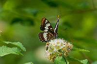 Lorquin's admiral (Limenitis lorquini) on Pacific Ninebark bush/blossoms with honey bee.  Pacific Northwest.  May.