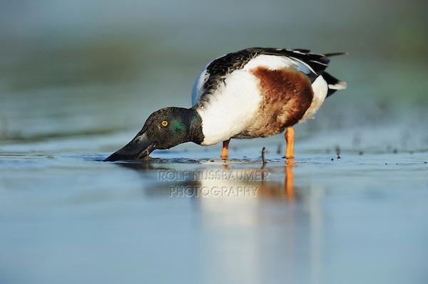Northern Shoveler (Anas clypeata), male feeding in lake, Dinero, Lake Corpus Christi, South Texas, USA