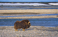 Muskox bull (Ovibos moscchatus) on shingle shore in summer in Arctic National Wildlife Refuge, Alaska, U.S.A.