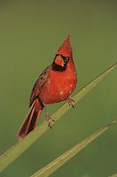 Northern Cardinal, Cardinalis cardinalis,male on Trecul Yucca (Yucca treculeana), Lake Corpus Christi, Texas, USA
