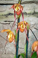 Phragmipedium Quetivel Mill (dalessandroi x Grande) orchid hybrid, tropical lady slipper hybrid in flower