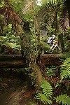 Gary Sullivan crosses the log ride over a small stream on the Whirinaki Trail near Rotorua, New Zealand.  Although quite exposed, the log is flat and wide, and there's a short bypass that stays on terra firma for less experienced riders. 25Jan07. Photo James Madelin