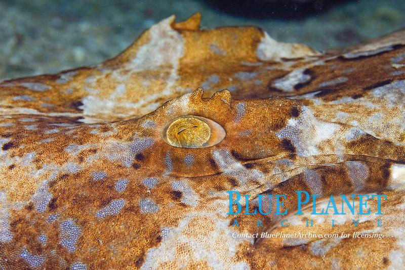 Gulf wobbegong or banded wobbegong, Orectolobus halei, Gneerings Reef, Mooloolaba, Queensland, Australia, South Pacific Ocean