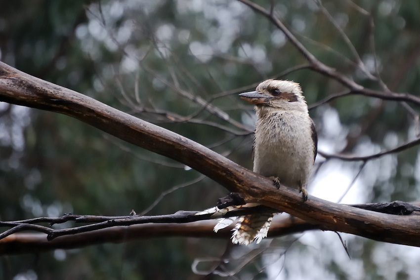 I'm wet and want to go home! - Wet kookooburra not laughing on a gum tree