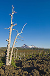 Gnarled old tree trunk, lava flow, North Sister and Middle Sister peaks from McKenzie Pass, Cascade Mountains, Oregon.