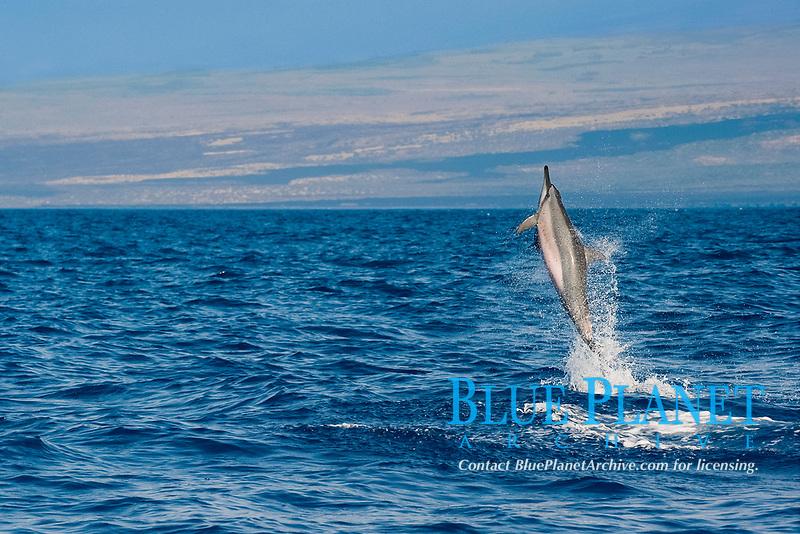 Hawaiian spinner dolphin or Gray's spinner dolphin or long-snouted spinner dolphin, Stenella longirostris longirostris, leaping from water, Kona Coast, Big Island, Hawaii (Central Pacific Ocean)