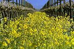 Napa Mustard fields in California.