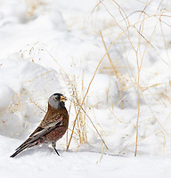 A couple of times during my winter trips, I caught sight of Rosy finches. It was my first time photographing this species.