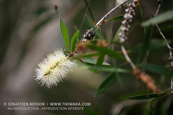Fleur de Niaouli, Nouvelle-Calédonie