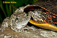 1R24-9081  Eastern Gray Treefrog - with painted turtle - Hyla chrysoscelis or Hyla versicolor,  © Brian Kuhn/Dwight Kuhn Photography