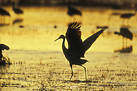 Sandhill crane (Grus canadensis) walking on thin pond ice, sunrise, New Mexico.