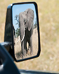 Bull African Elephant (Loxodonta africana) viewed through the wing mirror of safari vehicle. Ol Kinyei Conservancy, Masai Mara Game Reserve, Kenya.