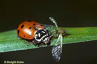1C01-044z  Convergent Ladybug eating aphid prey, Hippodamia convergens