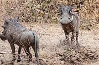 africa, Zambia, South Luangwa National Park, warthog